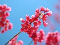 台湾 寒緋桜